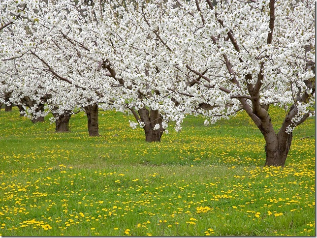 Blossoming Fruit Trees, Mosier, Oregon
