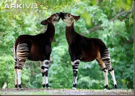 ARKive image GES131840 - Okapi