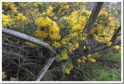 120211_UCSC_Arboretum_Acacia-baileyana_08