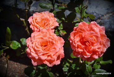 Love these peach roses!