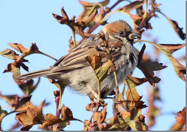 tree_sparrow2