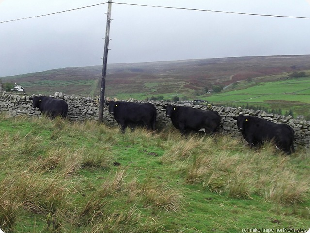 cows sheltering