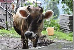 087 vache Naggar