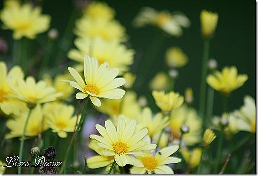 Argyranthemum_Butterfly_Yellow