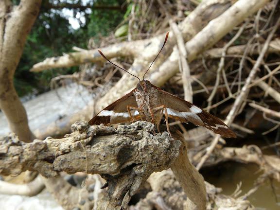 Castniidae : Telchin licus DRURY, 1773. Rio Zongo (alt. 600 m). Bolivie, 30 janvier 2008. Photo : J. F. Christensen