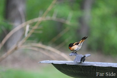 Redstart checking out the bird bath