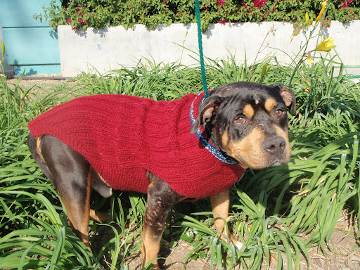 The shelter staff even photographed Georgie in a cute red sweater to help showcase his sweet demeanor. As is the case with so many, Georgie was brought in with no tags or microchip, and no one came to claim him.