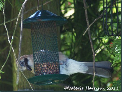 4 jay-on-feeder