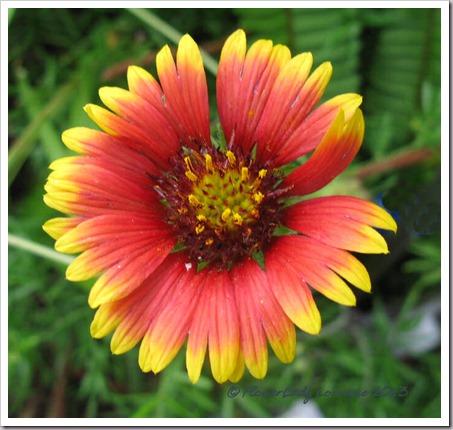 07-19-blanket-flower