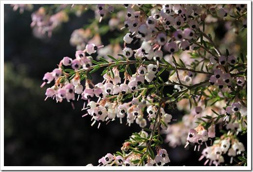 121027_UCSCArboretum_Erica-canaliculata_02