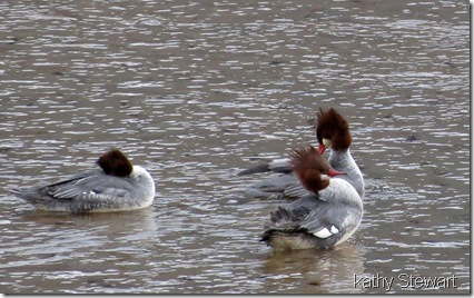 More female Common Merganser