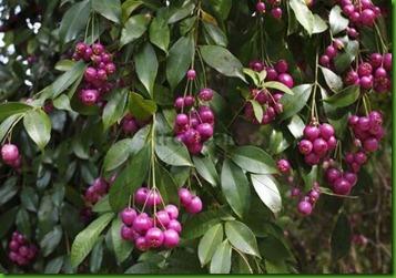 Eugenia myrtifolia1
