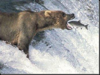 urso engole peixe