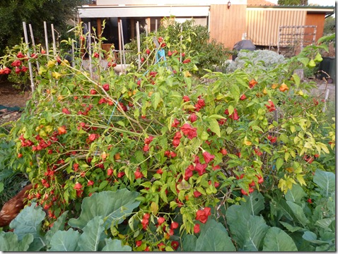 Christmas Bell Chillies form large straggly bushes weighted down with fruit and needing to be staked.