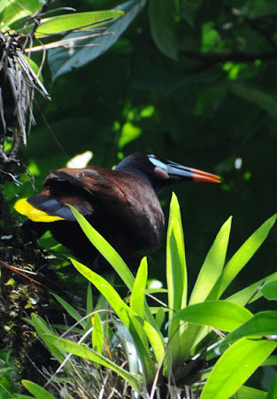 Fauna Costa Rica: Montezuma, pasare tropicala