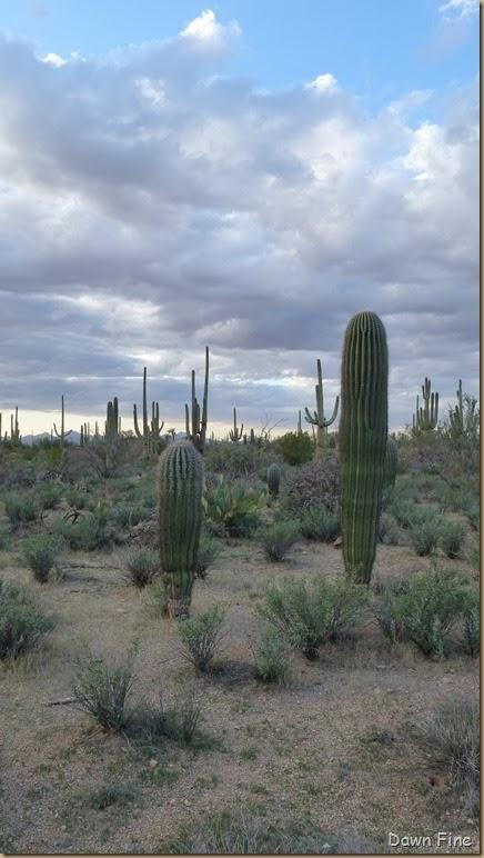 Saguaro NP West_046