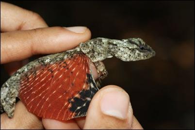 tiny-dragon-lizard-indonesia