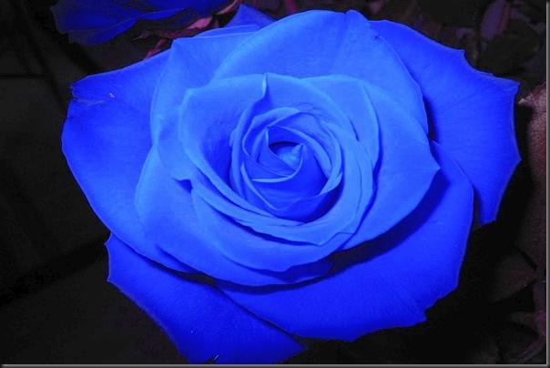 13 blue rose