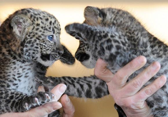 cube leopard-afp-britta-pedersen_orig