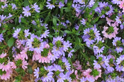 Topaz Pink and Bombay Blue Scaevola