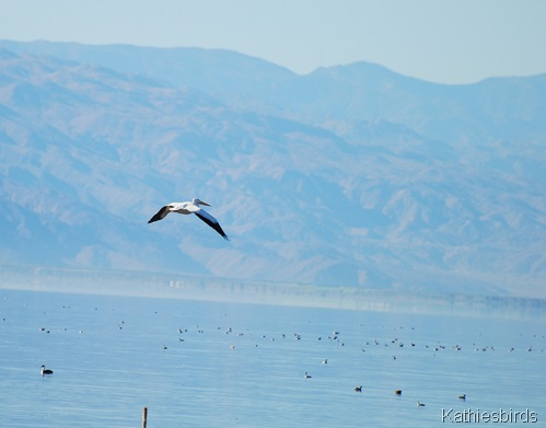 11. white pelican-kab