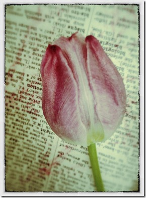 tulipsforme