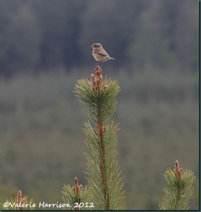 17-female-stonechat