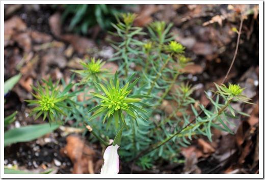 130325_L-bed14-Euphorbia-Deans-Hybrid