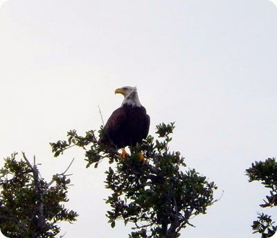 An American Bald Eagle.