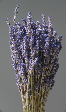 dried lavender_english_lg