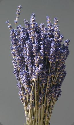 dried lavender_english_lg