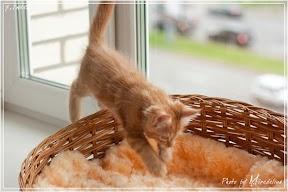 Фото история котят мейн кун в возрасте 7,5 недель 29