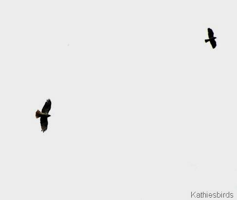 14. hawk fight-kab