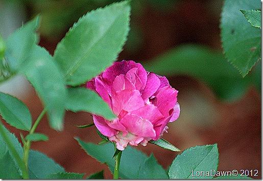 Rose_Midnight_Blue_Shrub