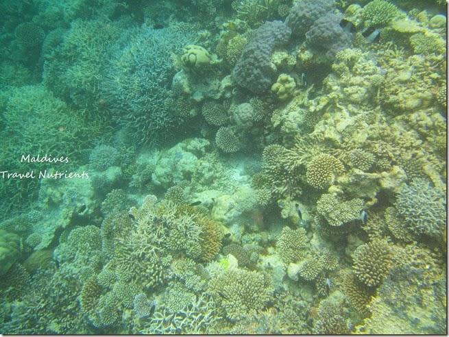 馬爾地夫 野餐島 浮潛 (5)