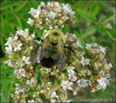 bumble bee-oregano (2)