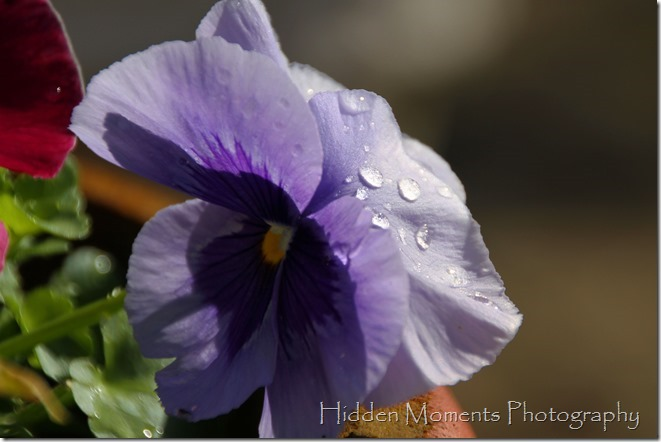 Morning Pansy Dew 3