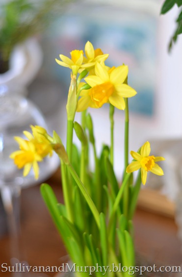 daffodils2