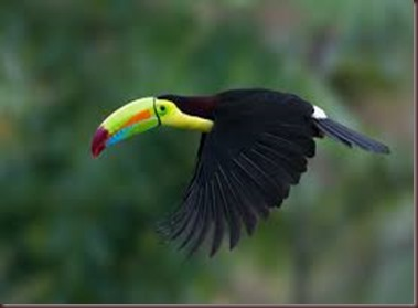 Amazing Pictures of Animals photo Nature exotic funny incredibel Zoo, Ramphastidae, Toucan, Bird, Alex (4)