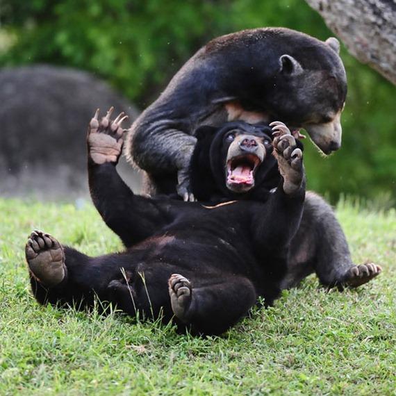 wrestling-bears_2057972i
