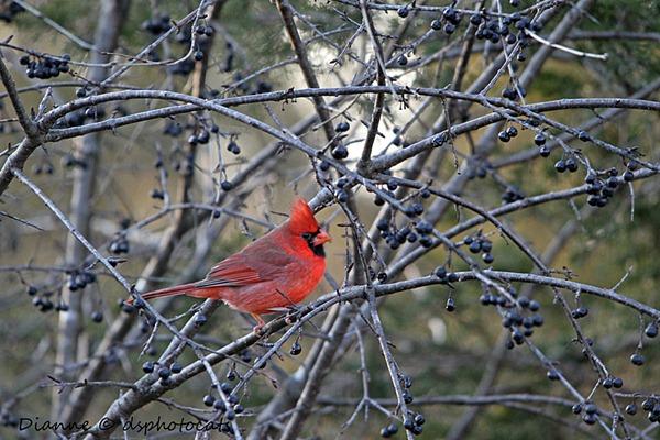 IMG_9409 Male Cardinal