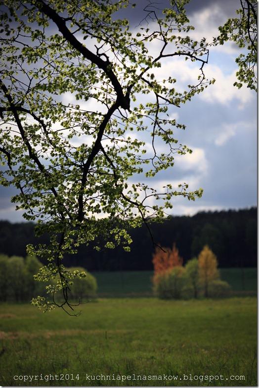 rzepakowe pola (4)