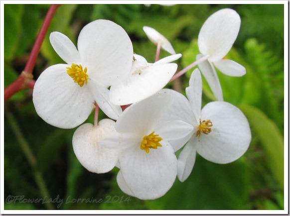 03-07-begonias