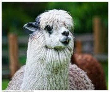 Amazing Pictures of Animals, photo, Nature exotic, funny, incredibel, Zoo, Vicugna pacos, Alpaca, Alex (25)