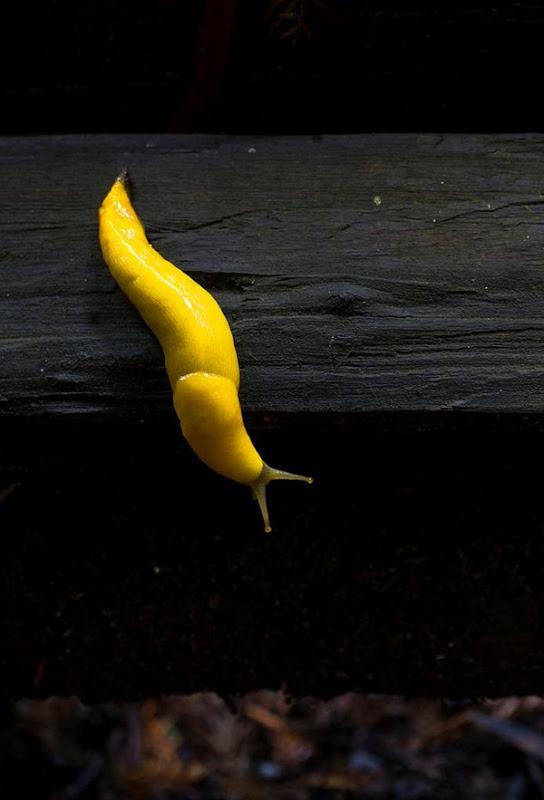 banana slug Ariolimax columbianus 8