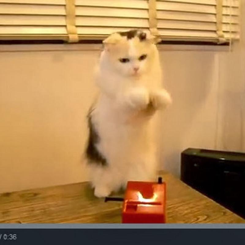 Γάτα παίζει theremin