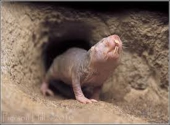 Amazing Pictures of Animals, photo, Nature, exotic, funny, incredibel, Zoo, Naked mole rat, Heterocephalus glaber, Rodentia, Alex (5)