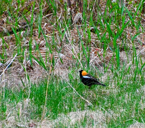 bobolink on ground-kab