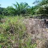 A field was covered with weeds:The weed management is important for the growth of oil palms in the early stage of cultivation