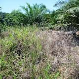 雑草が繁茂したアブラヤシ畑:アブラヤシが十分に育つまで、定期的な除草はアブラヤシの生育にとって大変重要である